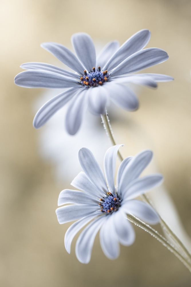 A piece of fine art art photography titled Cape Daisies by Mandy Disher