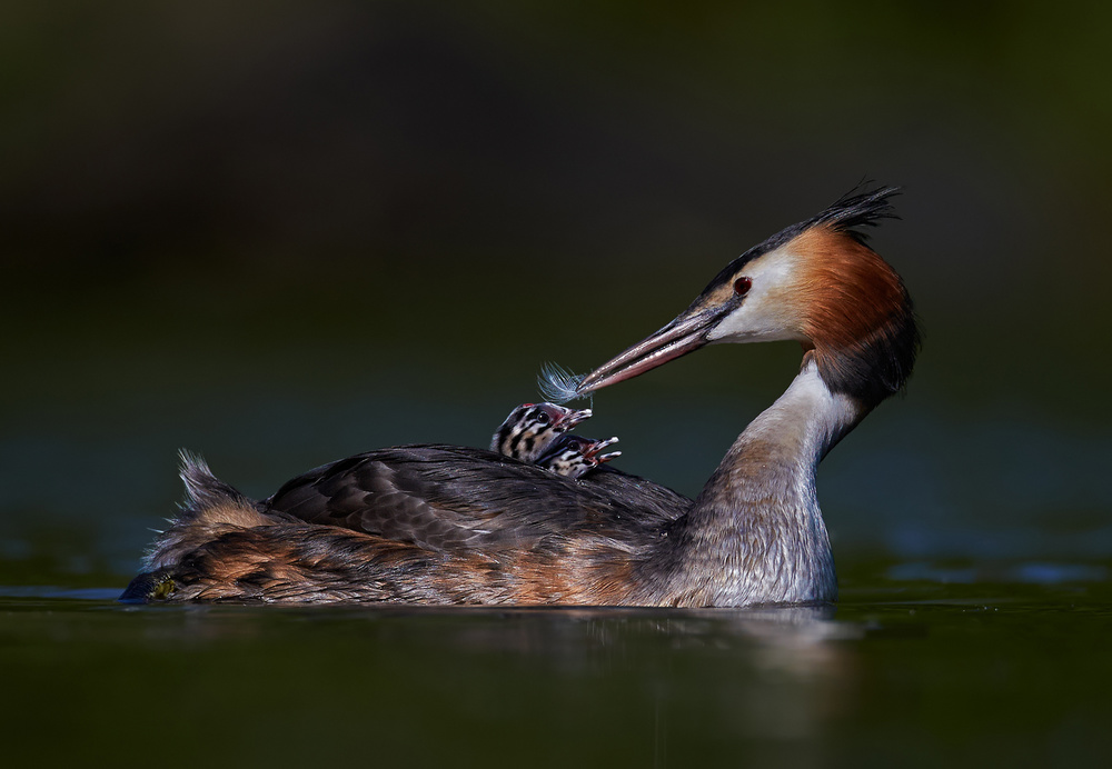 A Great crested Grebe with two chicks