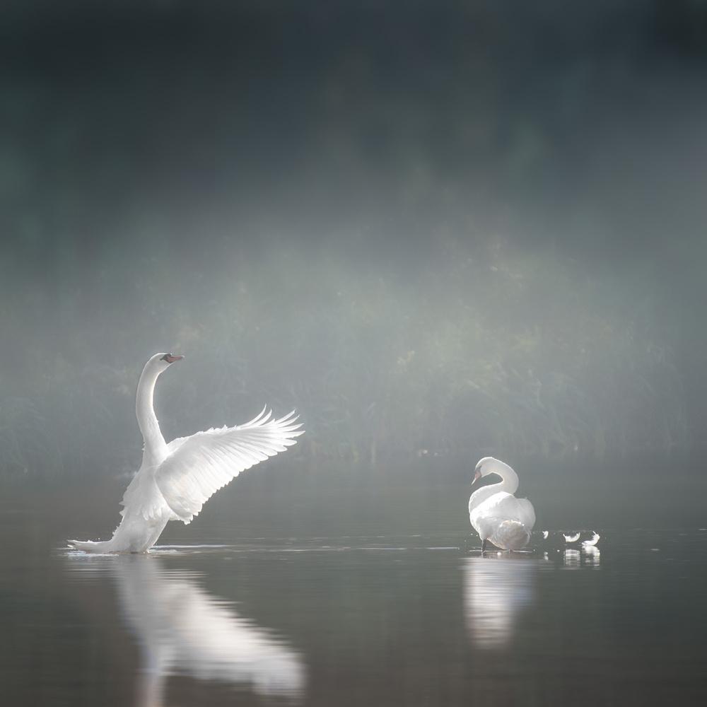 swansee