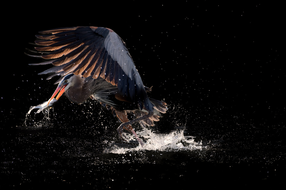 View this piece of fine art photography titled Running away with a fish for supper by Alex Li