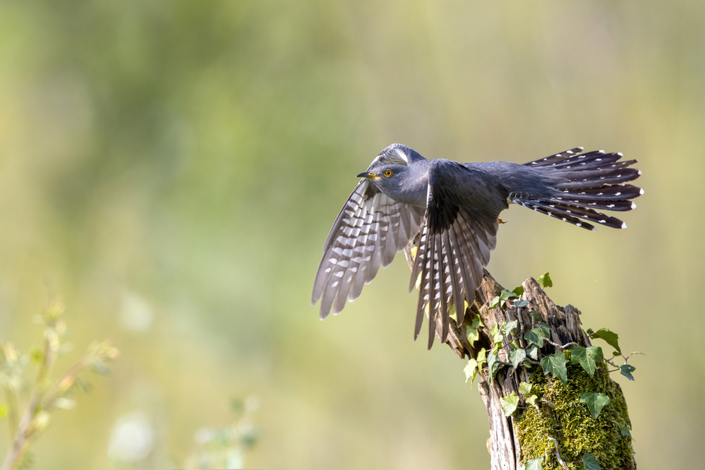 The cuckoo taking off