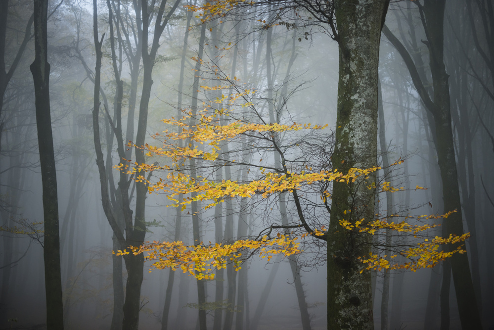 A piece of fine art art photography titled Beech Forest In Autumn by Alessandro Zocchi