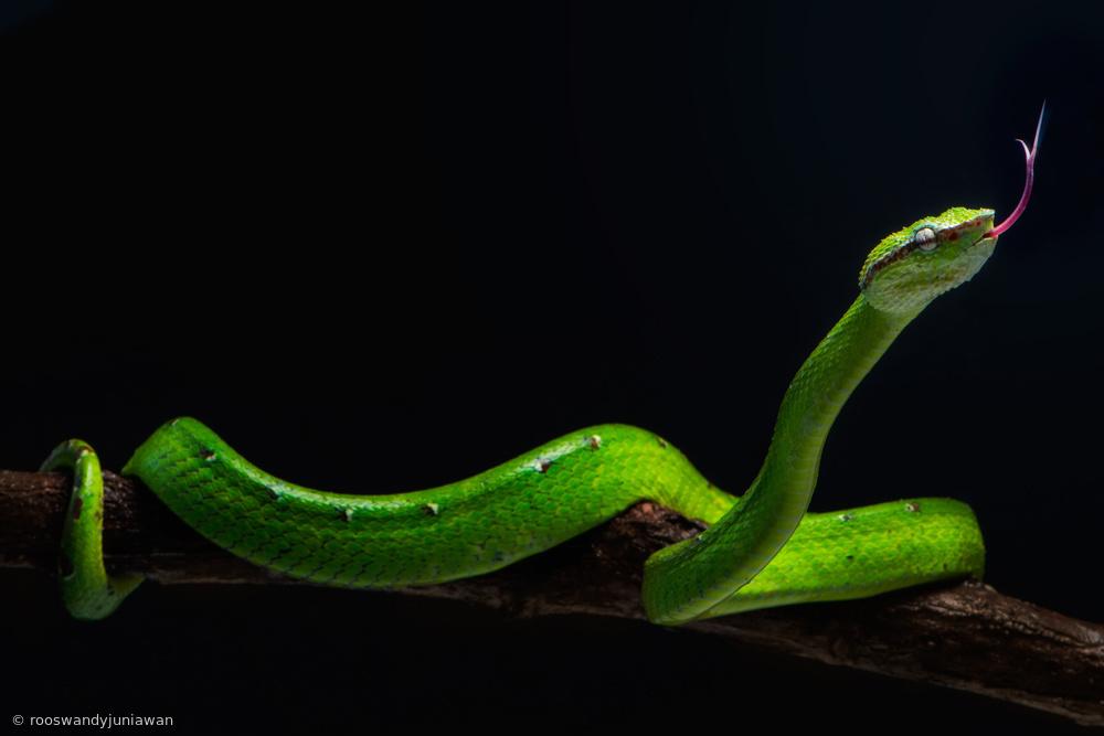 borneo viper