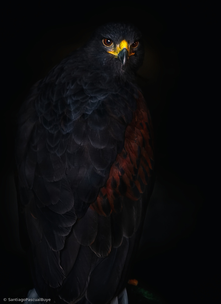 View this piece of fine art photography titled Harris's hawk portrait by Santiago Pascual Buye