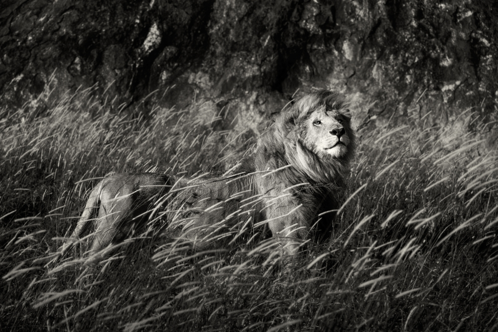 A piece of fine art art photography titled King of Simba Kopjes, Serengeti by Pekka Järventaus