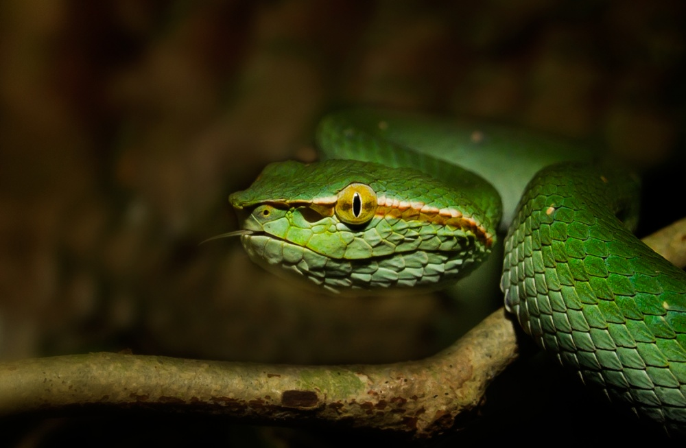 A piece of fine art art photography titled Head of Young Viper by arbain borneo