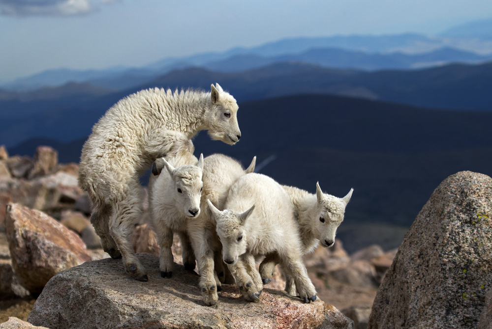 A piece of fine art art photography titled Baby Goats at Play by verdon