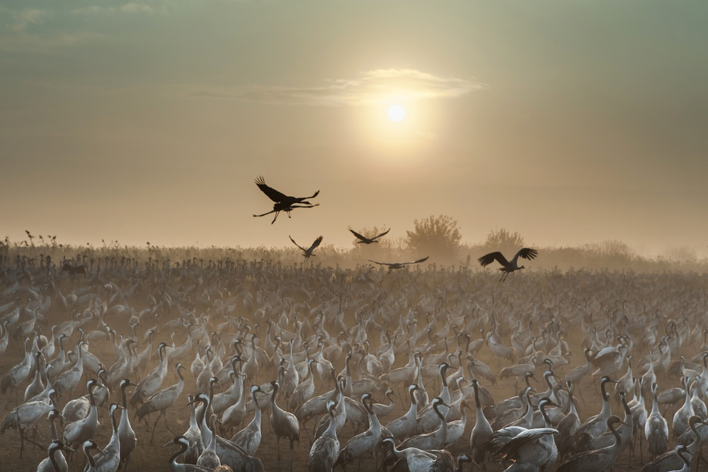 A piece of fine art art photography titled Common Cranes at Sunrise by Natalia Rublina