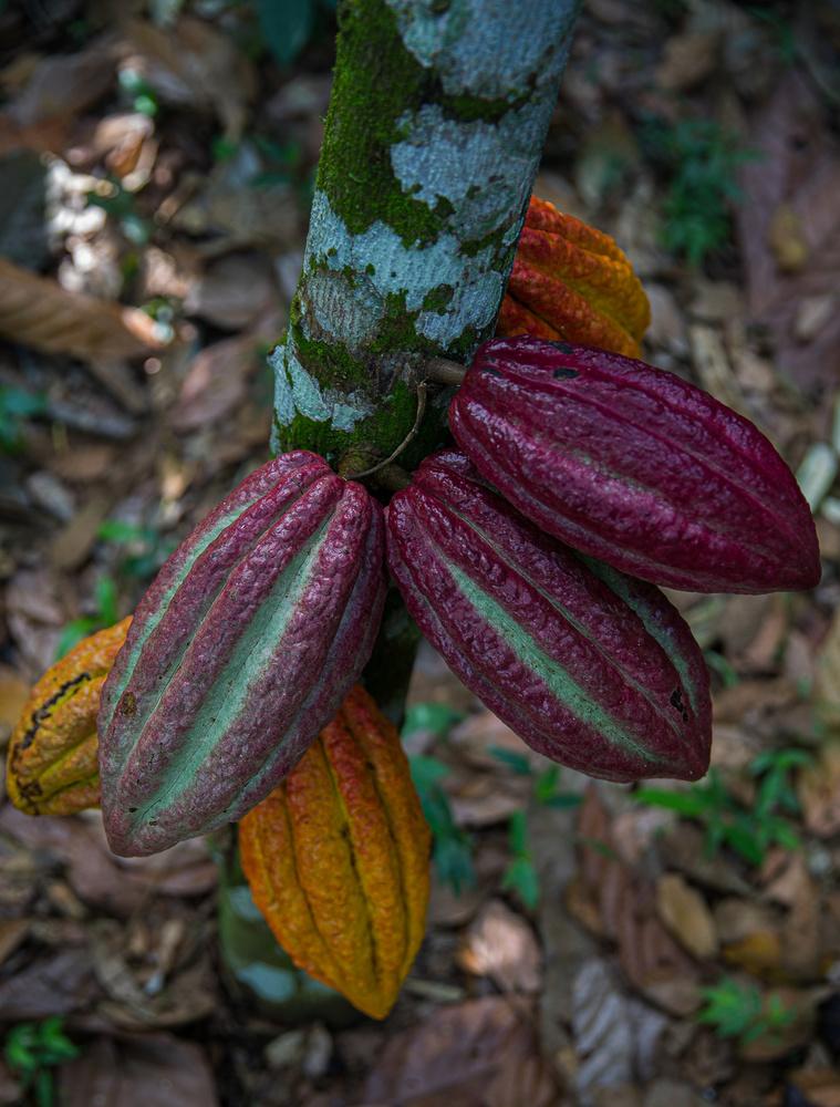 Maturing cacao pods