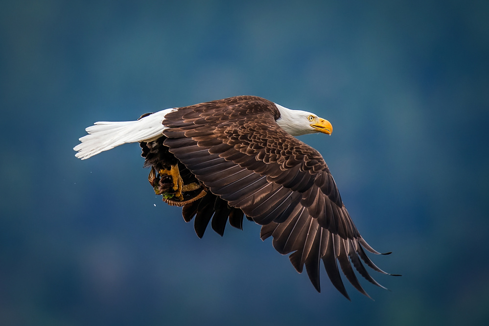 A piece of fine art art photography titled Bald Eagle With Fish by David H Yang