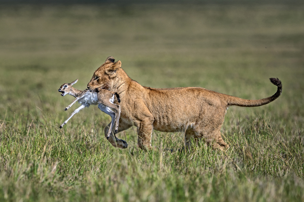 Lion cub with gazelle