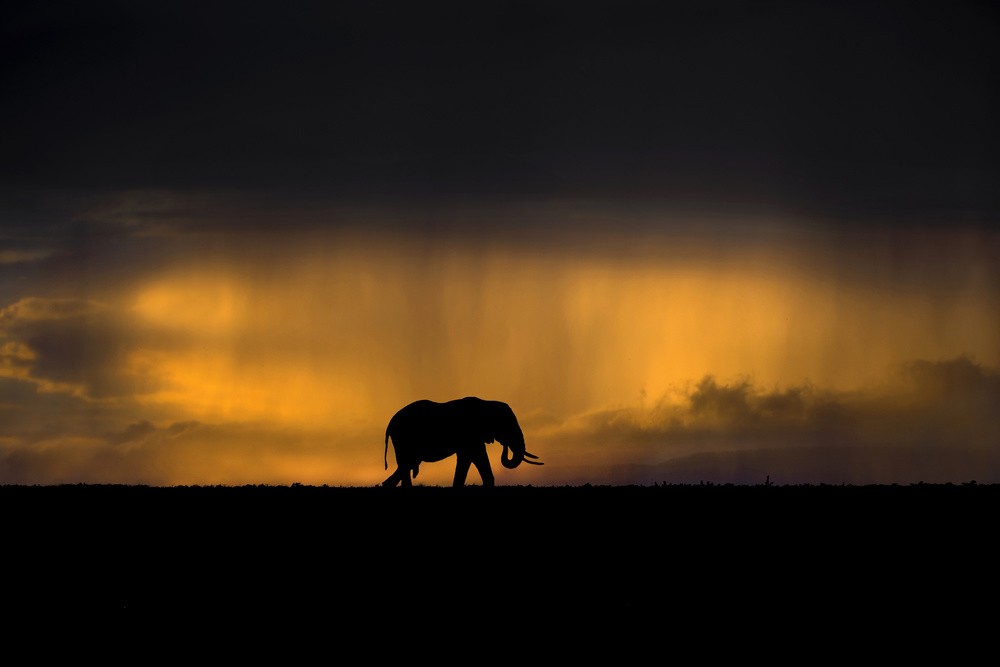 Elephant in a rain storm at sunset