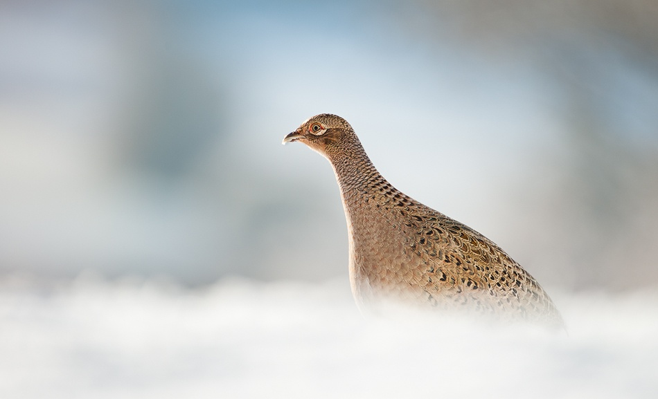 A piece of fine art art photography titled Pheasant In Snow Drift by Paula Graham