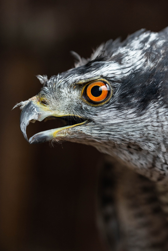 A piece of fine art art photography titled Northern Goshawk by Anna Phillips