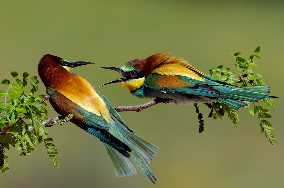 A piece of fine art art photography titled European Bee-eater Fight by Filipe Caetano