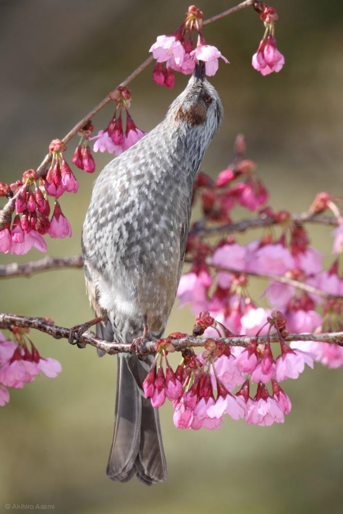 A brown-eared bulbul is sipping cherry blossum nectar.
