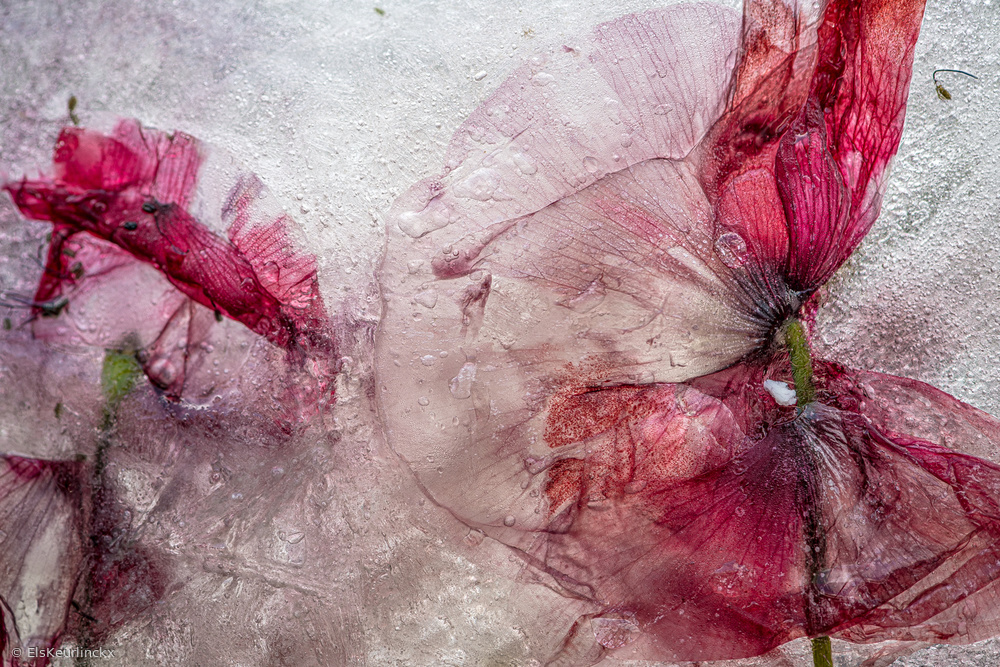 View this piece of fine art photography titled Poppy by Els Keurlinckx