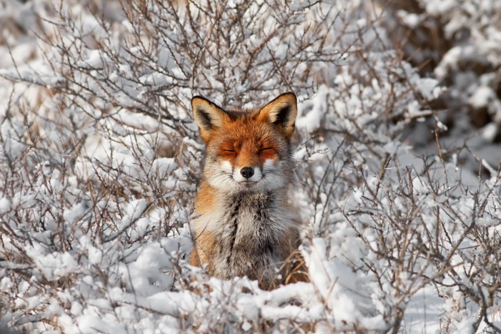 A piece of fine art art photography titled Happy Fox In Winter Coat In the Snow by Roeselien Raimond