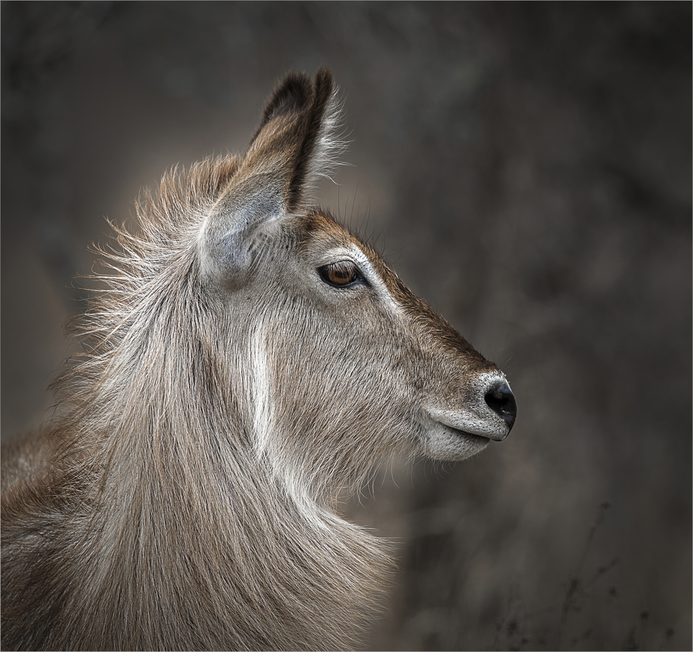 A piece of fine art art photography titled Waterbuck Portrait by Lourens Durand