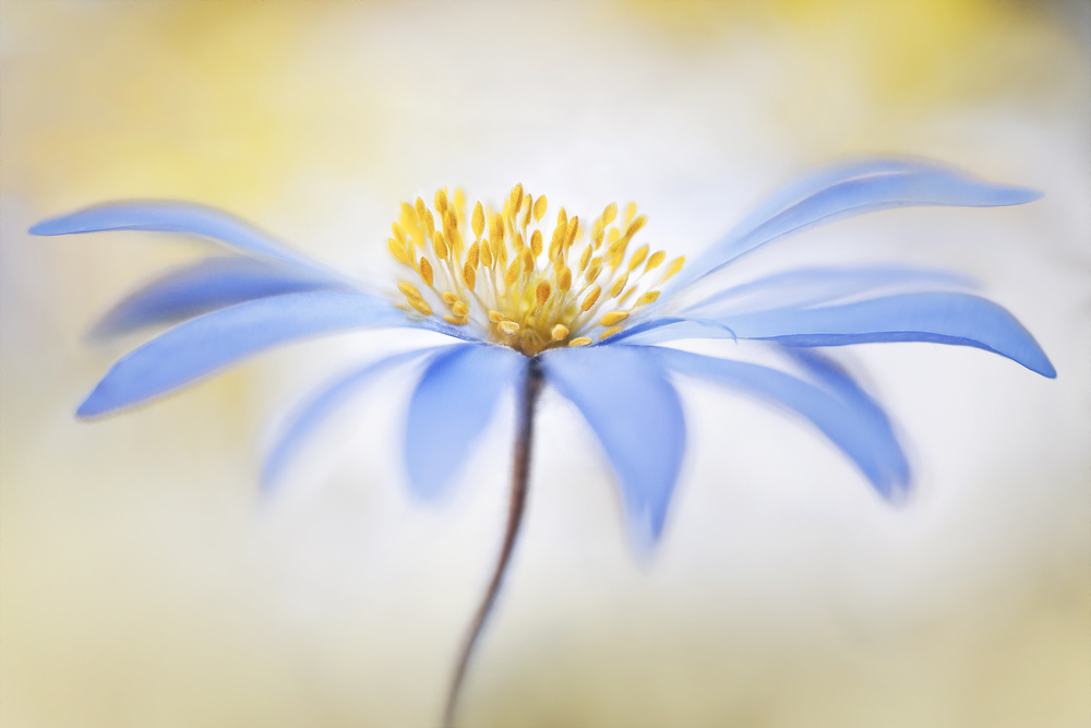 View this piece of fine art photography titled ~Anemone~ by Mandy Disher