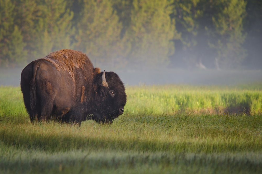A piece of fine art art photography titled Bison In Morning Light by Sandipan Biswas