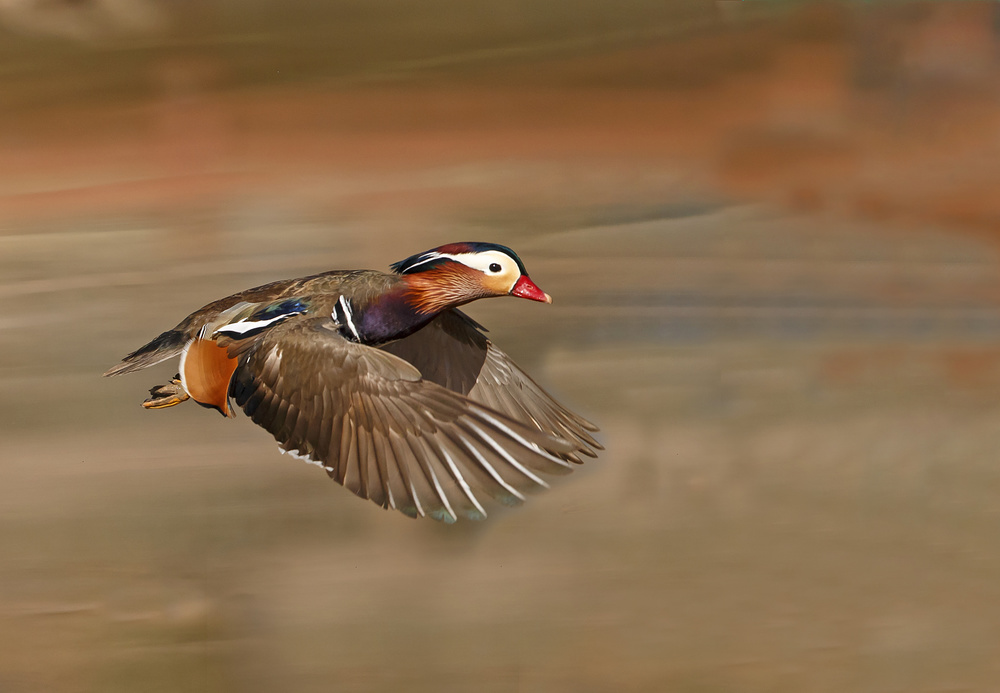 A piece of fine art art photography titled Mandarin Duck by Shlomo Waldmann