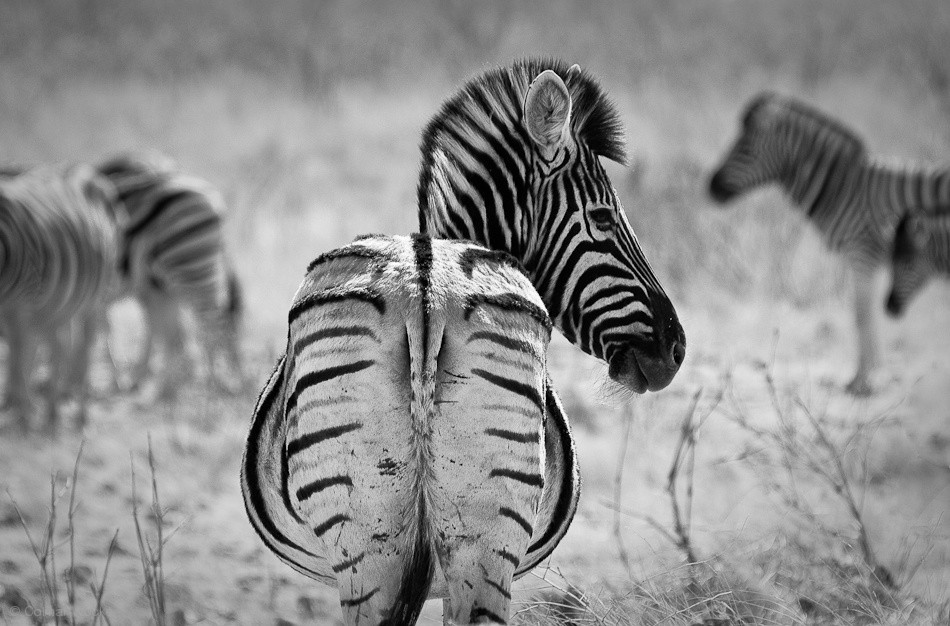 Zebra Territory