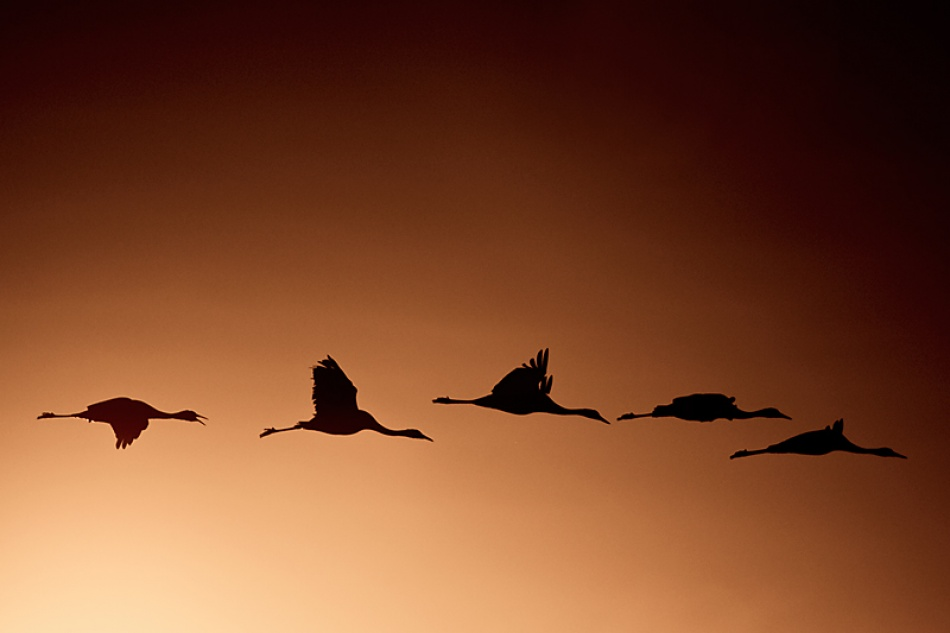 A piece of fine art art photography titled Cranes by Niklas Wimnell