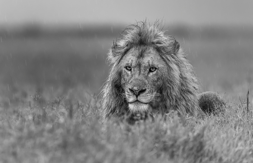 A piece of fine art art photography titled Lion by Giuseppe DAmico