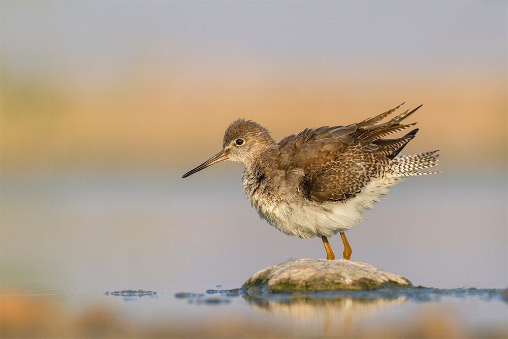 A piece of fine art art photography titled Wood Sandpiper by hadi ansari