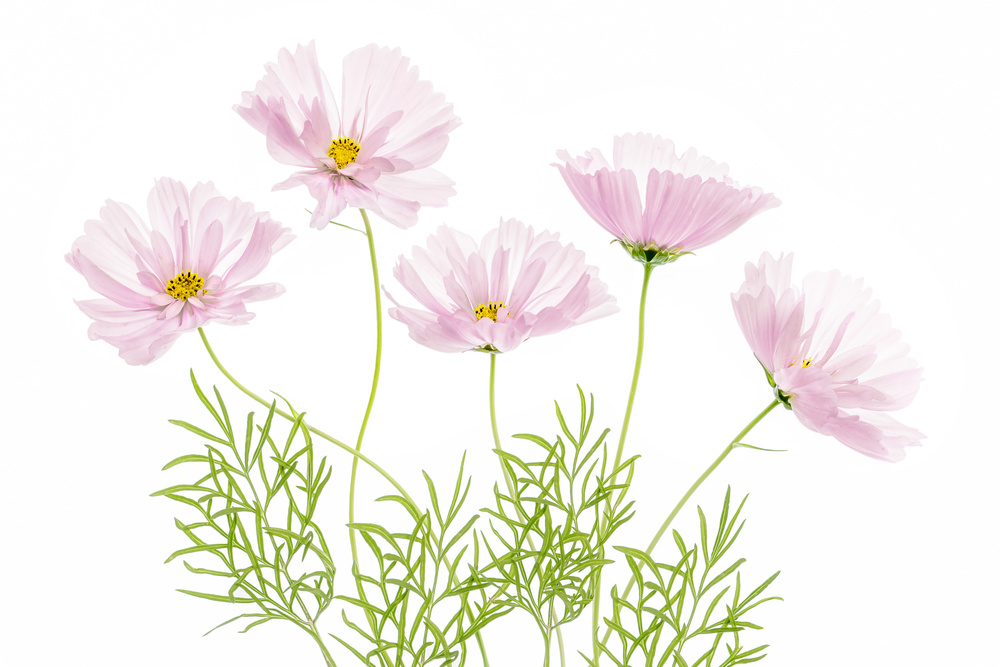 A piece of fine art art photography titled Cosmos Cupcake by Mandy Disher