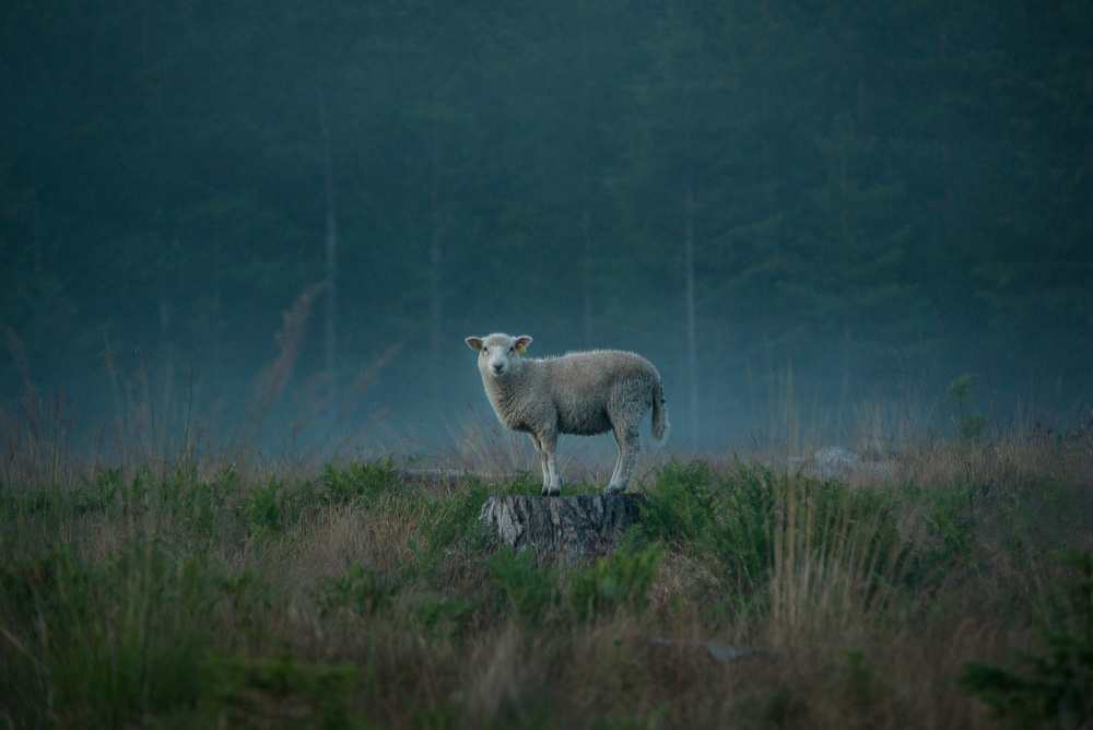 A piece of fine art art photography titled Moody Sheep by Christian Lindsten