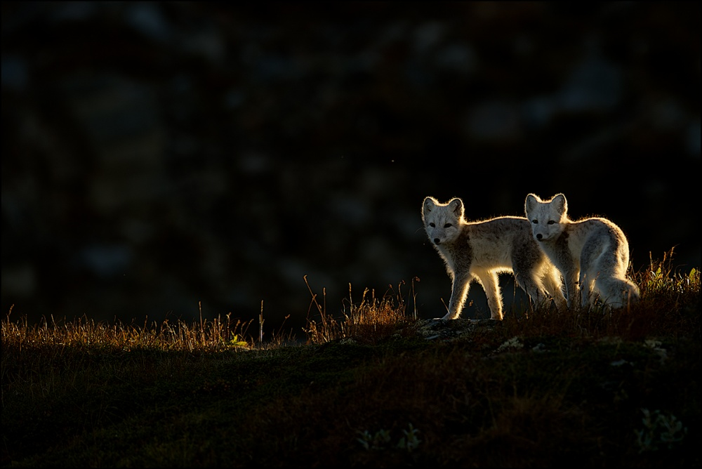 A piece of fine art art photography titled Arctix Fox by Georg Scharf