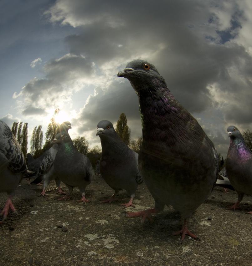 Brockwell Pigeons
