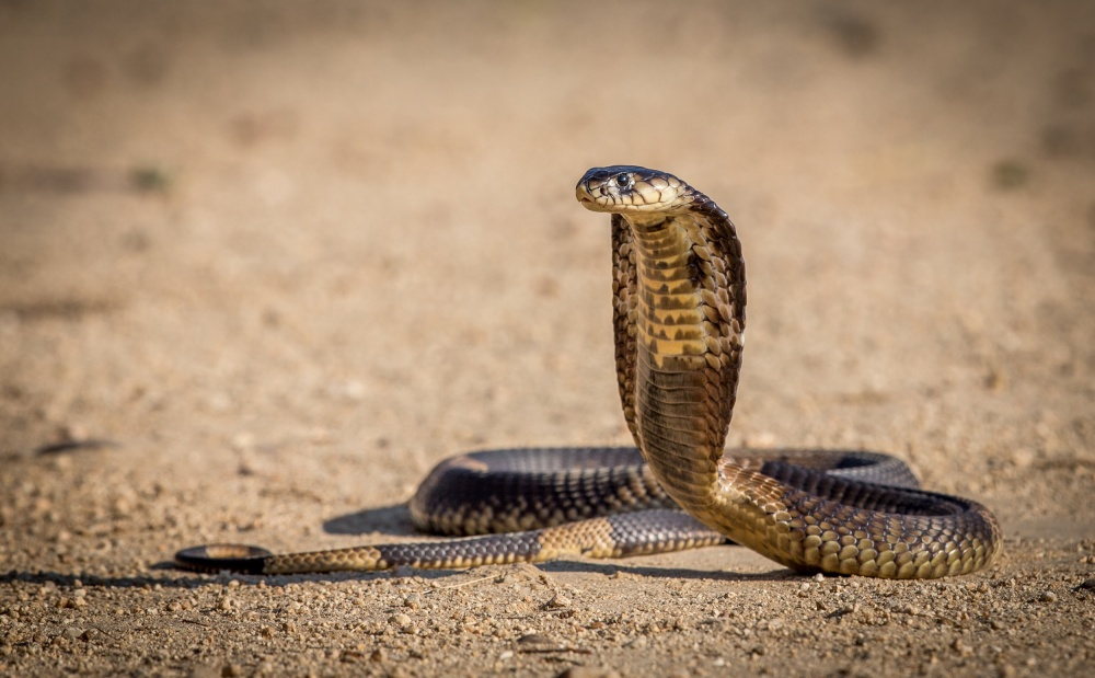 A piece of fine art art photography titled Spitting Cobra In Strike Pose by Jeffrey C. Sink