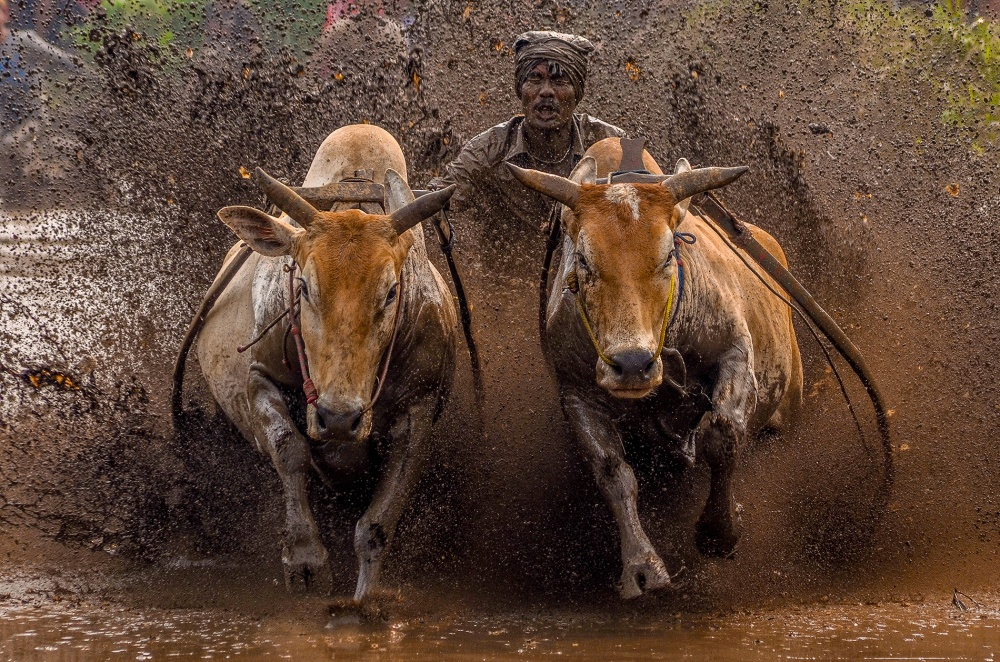 A piece of fine art art photography titled The Racing Cows by Media Hendriko