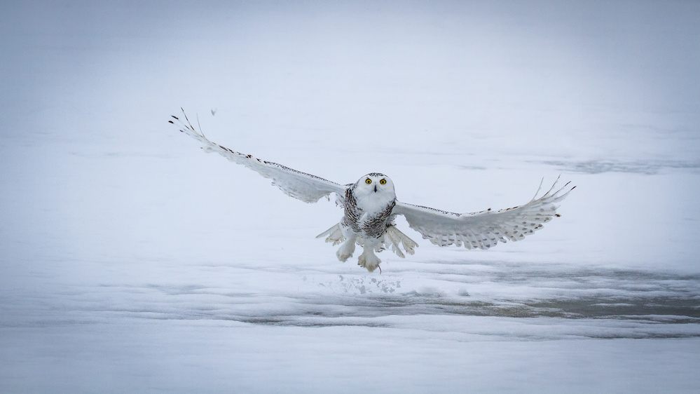 Snowy Owl - success II