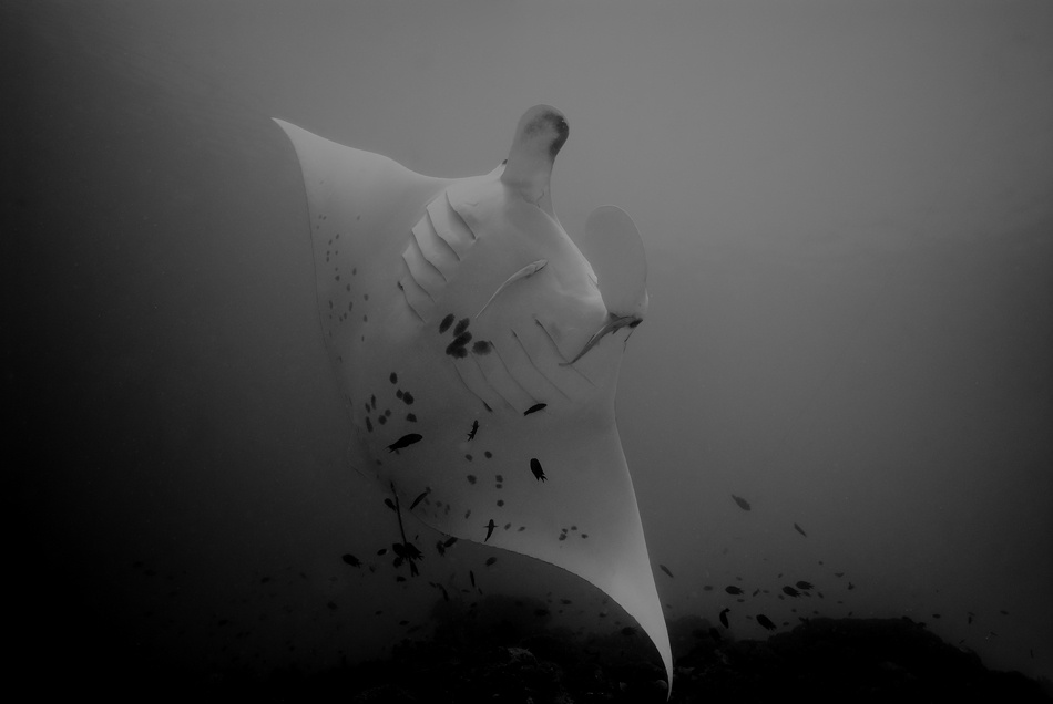 A piece of fine art art photography titled Manta Dance by Mikael Jigmo