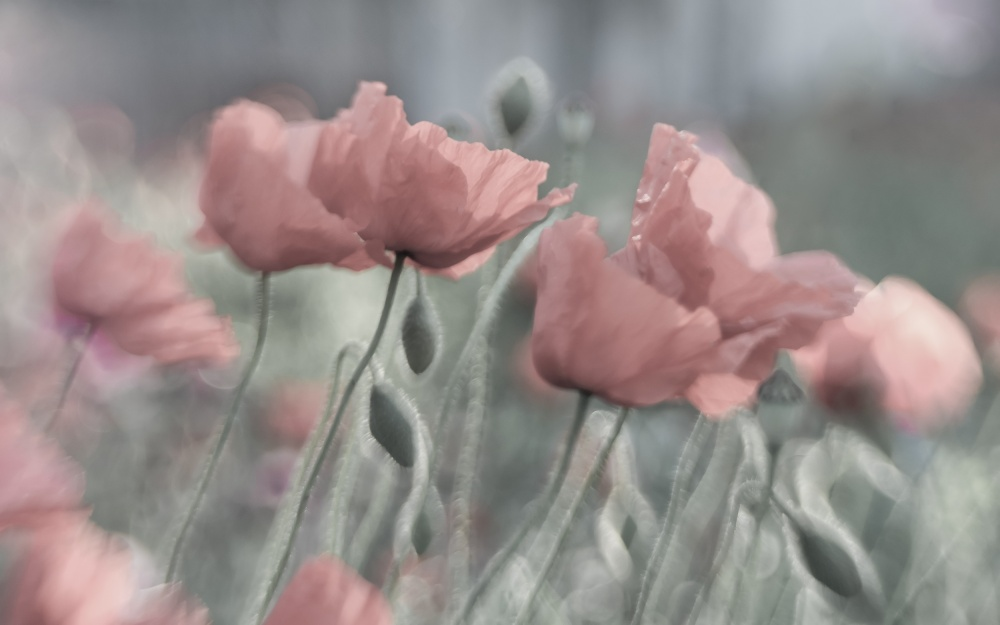 A piece of fine art art photography titled Softly by Anne Worner