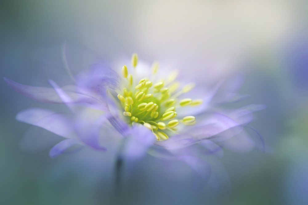 A piece of fine art art photography titled Windflower by Jacky Parker