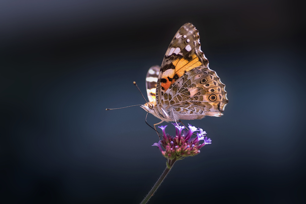 View this piece of fine art photography titled A beauty of summer-2, flower and butterfly by Jimmy Hoffman