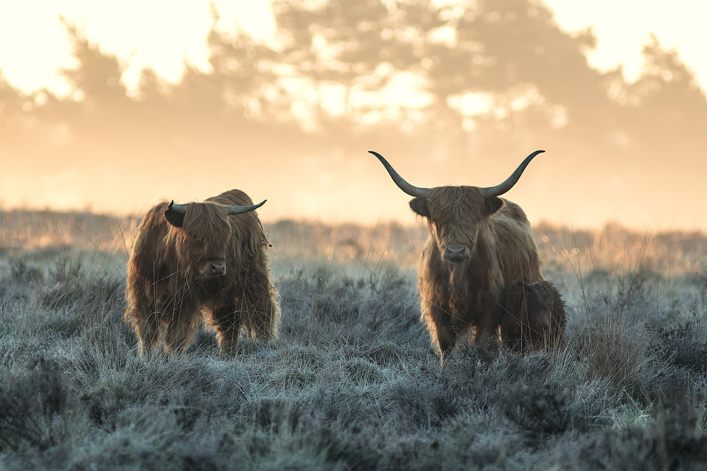 View this piece of fine art photography titled Three Highlanders by Jaap van den Helm