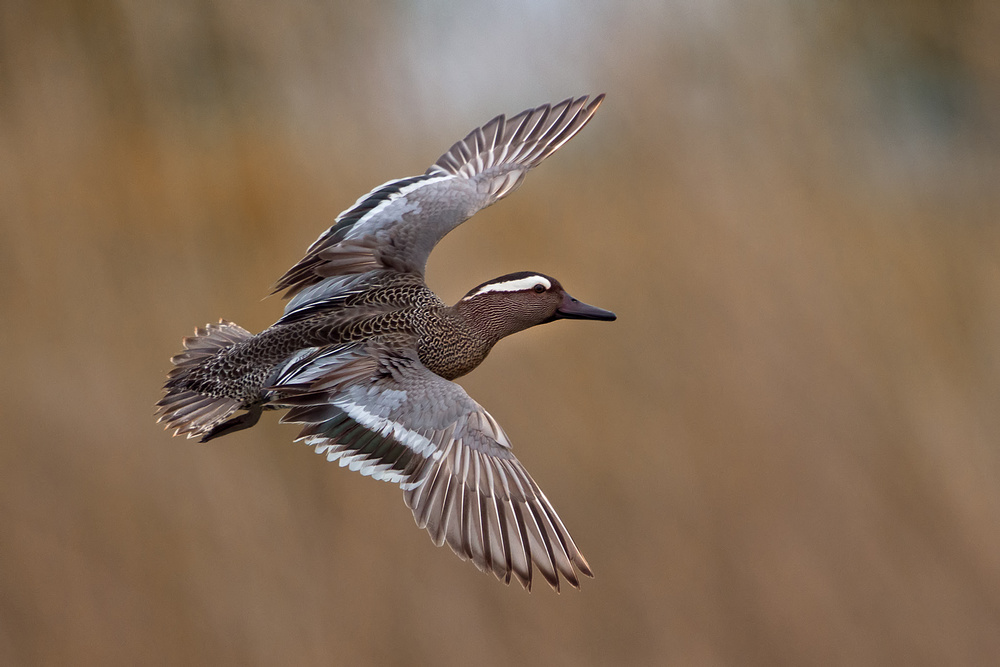 A piece of fine art art photography titled Garganey by Marco Roghi