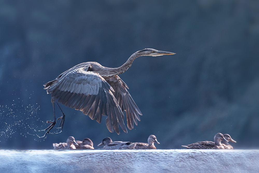 A piece of fine art art photography titled Blue Heron Taking Off by Purple Bamboo