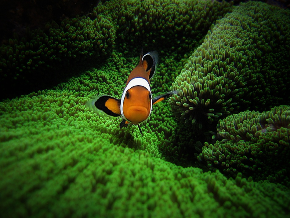 A piece of fine art art photography titled Amphiprion Ocellaris by Pedro GoniO