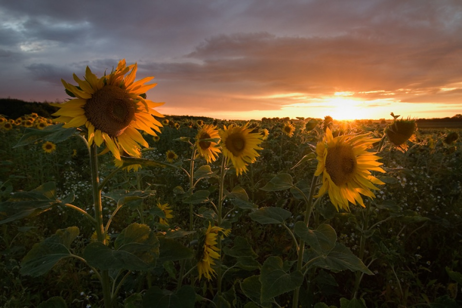 A piece of fine art art photography titled Sunflowers by Stefan Michalski