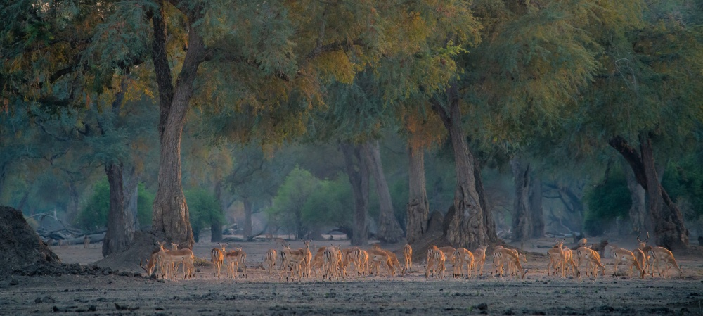 A piece of fine art art photography titled Impalas at Dawn by Giovanni Casini