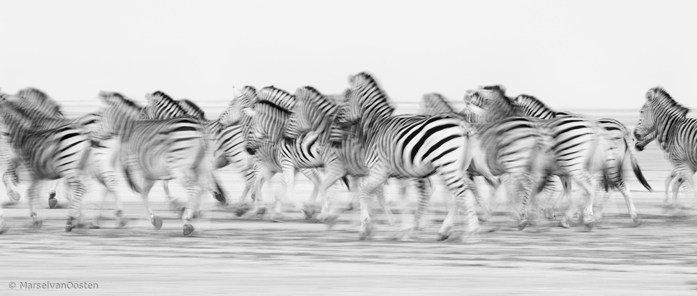 View this piece of fine art photography titled Essence of Zebra by Marsel van Oosten