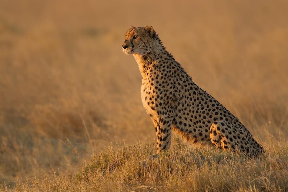 A piece of fine art art photography titled Cheetah - Botswana - Okavango by Sébastien PERSYN