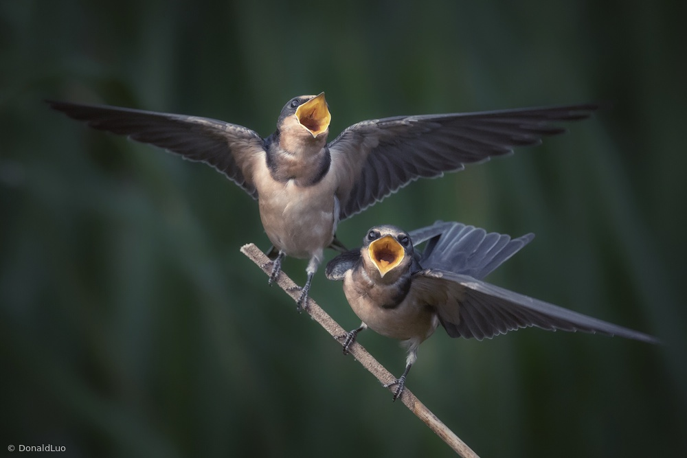 The hungry swallow babies